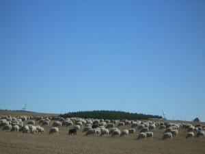 243637-rebano-de-ovejas-en-el-rastrojo